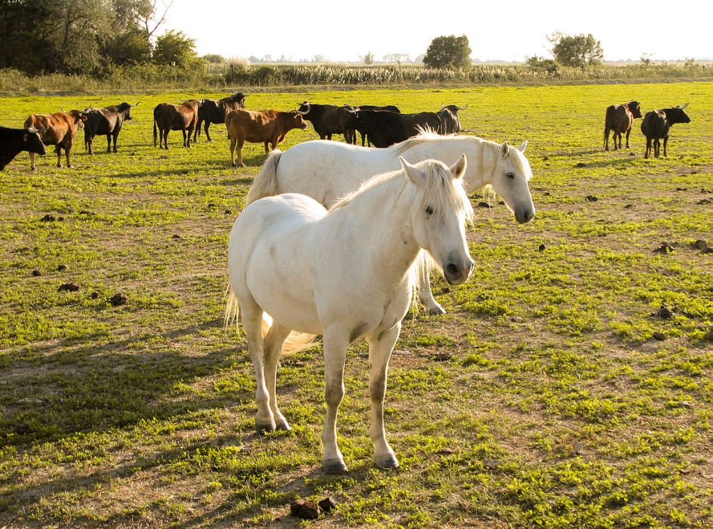 """""""Horses in the Camargue 1"""" by Norbert Nagel, Mörfelden-Walldorf, Germany - Own work. Licensed under CC BY-SA 3.0 via Wikimedia Commons - http://commons.wikimedia.org/wiki/File:Horses_in_the_Camargue_1.jpg#/media/File:Horses_in_the_Camargue_1.jpg"""