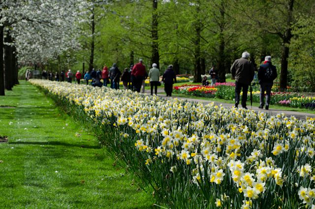Open only for a short time each year, a visit to the Keukenhof Gardens in the Netherlands is an absolute must. Photo © 2014 Aaron Saunders