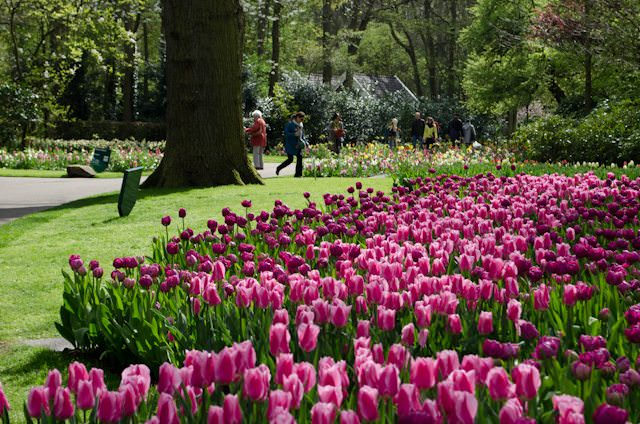 Millions of bulbs are planted annually at Keukenhof, with visitors setting aside hours to even have a hope of glimpsing them all. Photo © 2014 Aaron Saunders