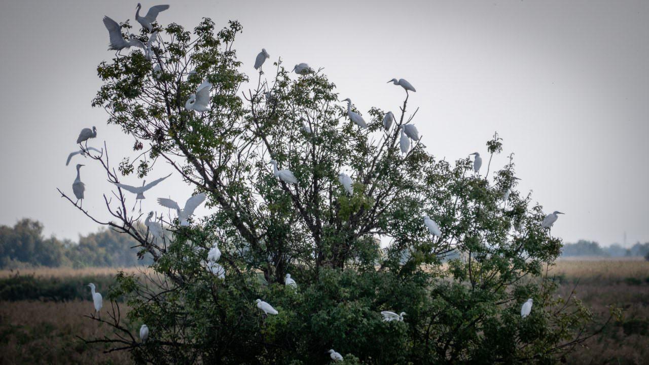 egrets Camargue